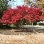Holderness Tree red